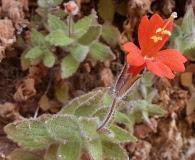 Erythranthe eastwoodiae