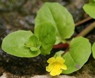Erythranthe glabrata