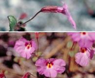 Erythranthe gracilipes