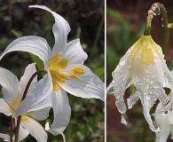 Erythronium montanum