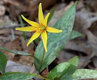 Erythronium rostratum