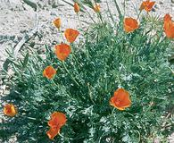 Eschscholzia lemmonii