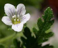 Eucrypta chrysanthemifolia
