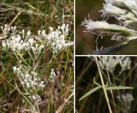 Eupatorium leptophyllum