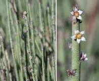 Euphorbia antisyphilitica