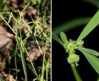 Euphorbia bilobata