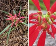 Euphorbia colorata