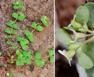 Euphorbia cordifolia