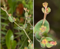 Euphorbia floridana
