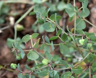 Euphorbia robusta