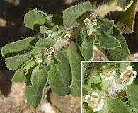Euphorbia stictospora