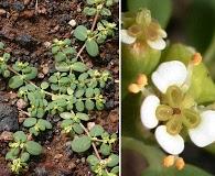 Euphorbia theriaca