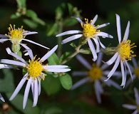 Eurybia macrophylla