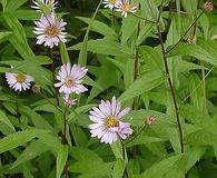 Eurybia radula