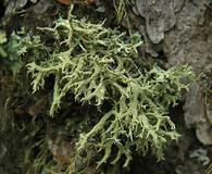 Evernia mesomorpha