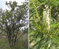 Eysenhardtia polystachya