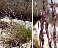 Festuca brachyphylla