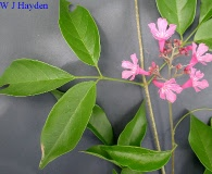 Fridericia floribunda