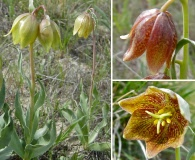 Fritillaria agrestis