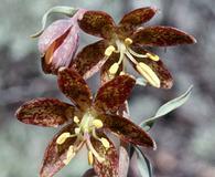 Fritillaria atropurpurea