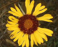 Gaillardia pinnatifida