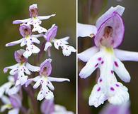 Galearis rotundifolia