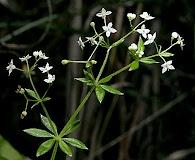 Galium asprellum