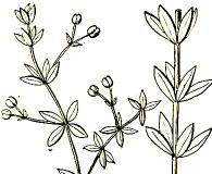 Galium bermudense