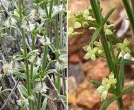 Galium coloradoense