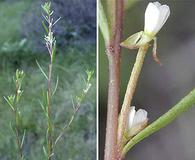 Gayophytum decipiens