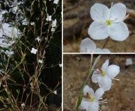 Gayophytum eriospermum