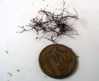 Gelidium crinale