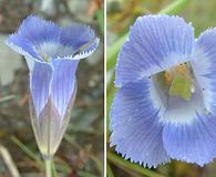 Gentianopsis virgata