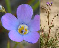 Gilia latiflora