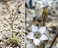 Gilia stellata