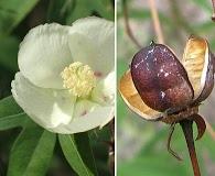 Gossypium thurberi