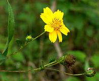Guizotia abyssinica