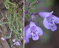 Hedeoma hyssopifolia