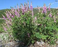Hedysarum alpinum