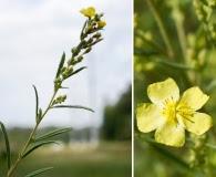 Helianthemum rosmarinifolium