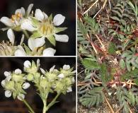 Horkelia daucifolia