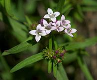 Houstonia longifolia