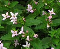 Houstonia purpurea
