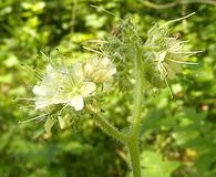 Hydrophyllum macrophyllum