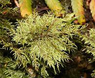 Hylocomium splendens