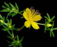 Hypericum lloydii