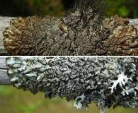 Hypogymnia austerodes