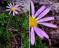Ionactis linariifolia