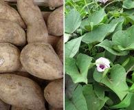 Ipomoea batatas