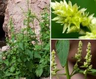 Iresine heterophylla